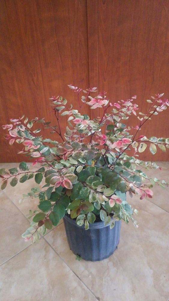 breynia-disticha-roseapicta-hawaiian-snowbush