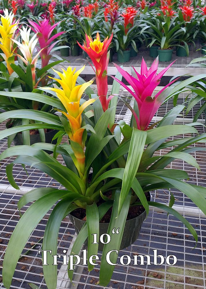 bromeliads-assorted