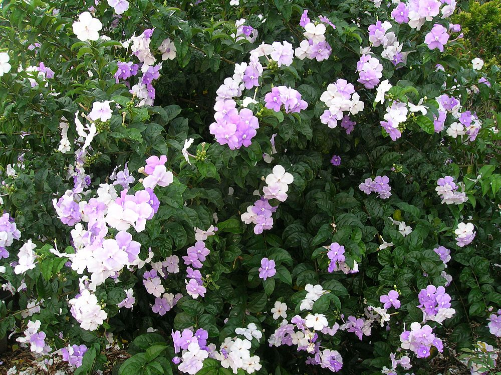 brunfelsia-grandiflora-grandiflora-yesterday-today-tomorrow