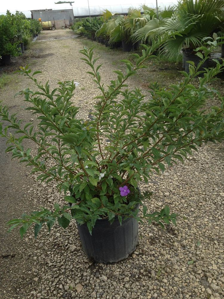 brunfelsia-pauciflora-floribunda-compact-compact-yesterday-today-and-tomorrow