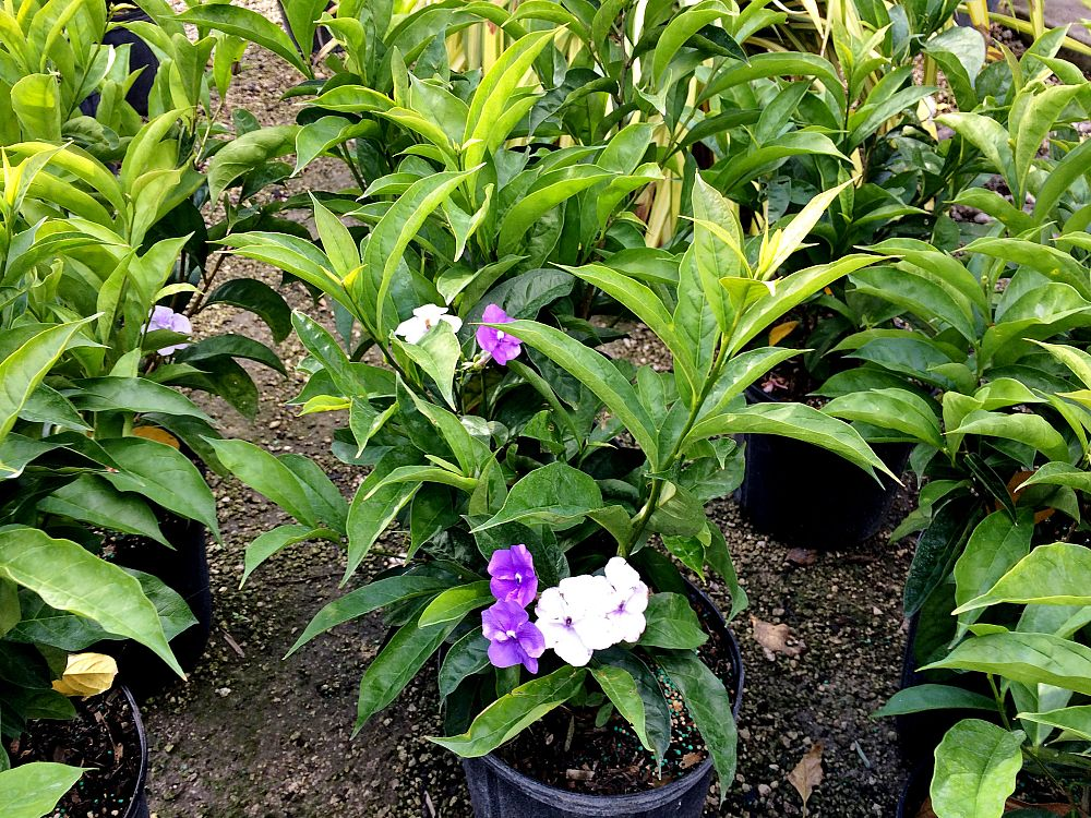 brunfelsia-pauciflora-yesterday-today-and-tomorrow
