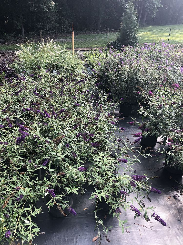 buddleia-davidii-black-knight-butterfly-bush