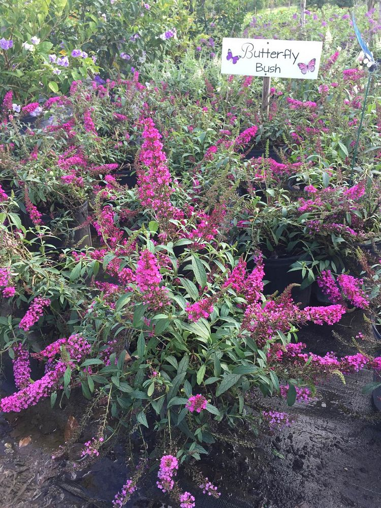 buddleia-davidii-buzz-hot-raspberry-butterfly-bush