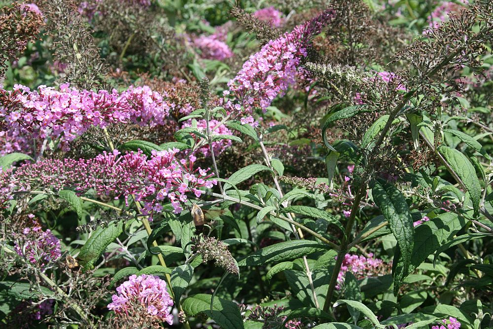 buddleia-davidii-charming-pink-butterfly-bush
