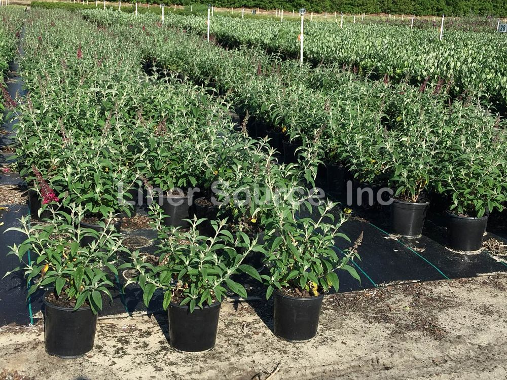 buddleia-davidii-cranrazz-butterfly-bush