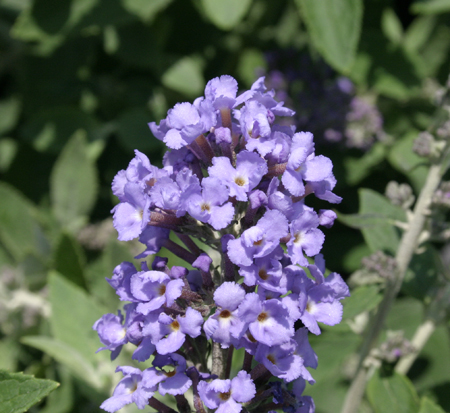 buddleia-davidii-flutterby-blue-heaven-butterfly-bush