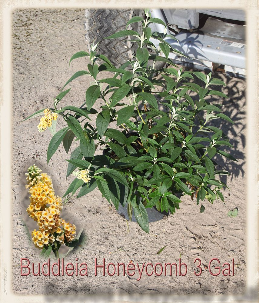buddleia-davidii-honeycomb-butterfly-bush