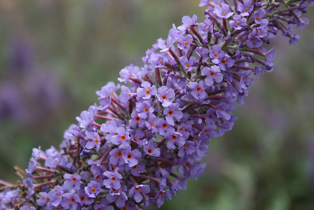 buddleia-davidii-lochinch-butterfly-bush