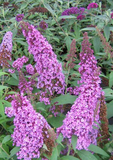 buddleia-davidii-peacock-butterfly-bush