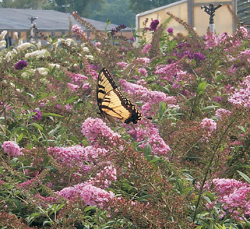 buddleia-davidii-pink-delight-butterfly-bush