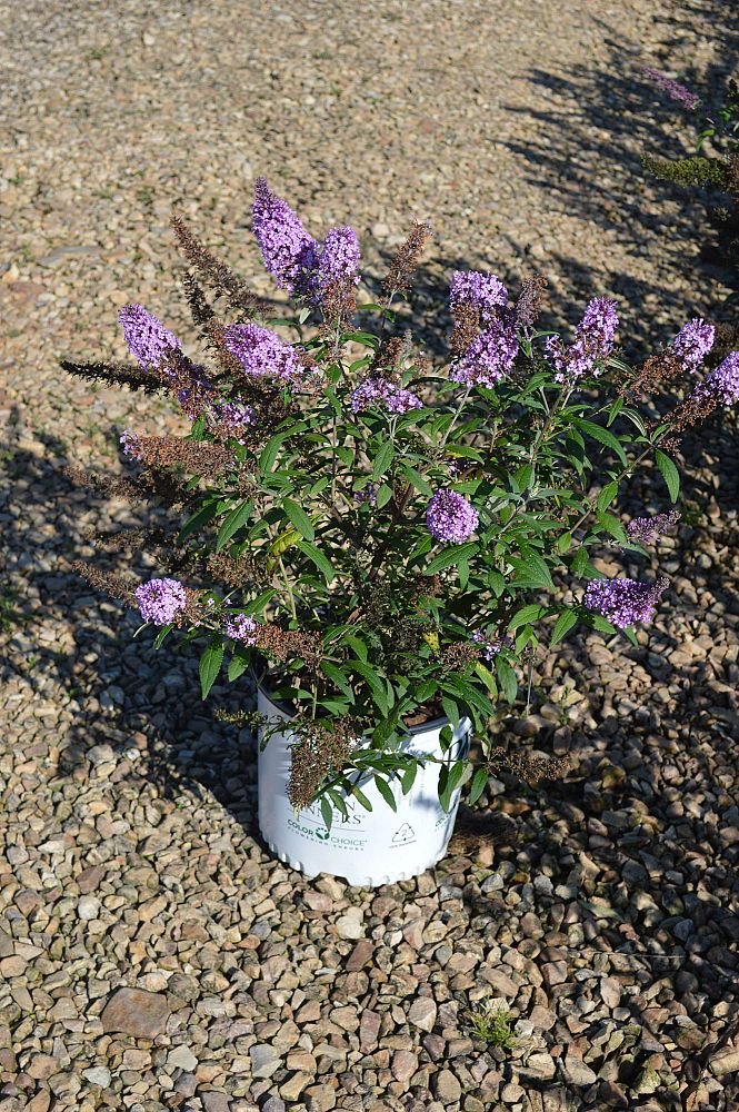 buddleia-davidii-purple-emperor-butterfly-bush