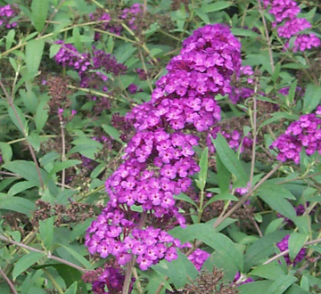 buddleia-davidii-royal-red-butterfly-bush