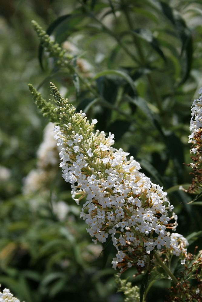 buddleia-davidii-white-profusion-butterfly-bush