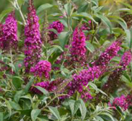 buddleia-hyb-boscranz-cranrazz-trade-butterfly-bush