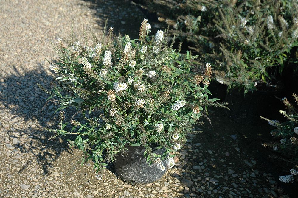buddleia-ice-chip-lo-behold-reg-ice-chip-butterfly-bush
