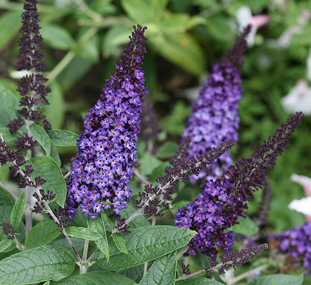 buddleia-smnbdbt-butterfly-bush-pugster-blue