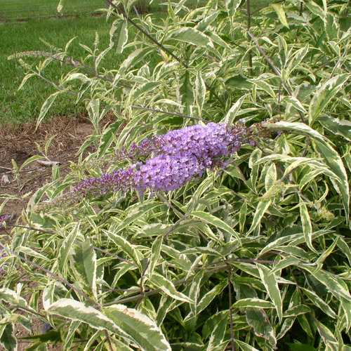 buddleia-summer-skies-summer-skies-butterfly-bush