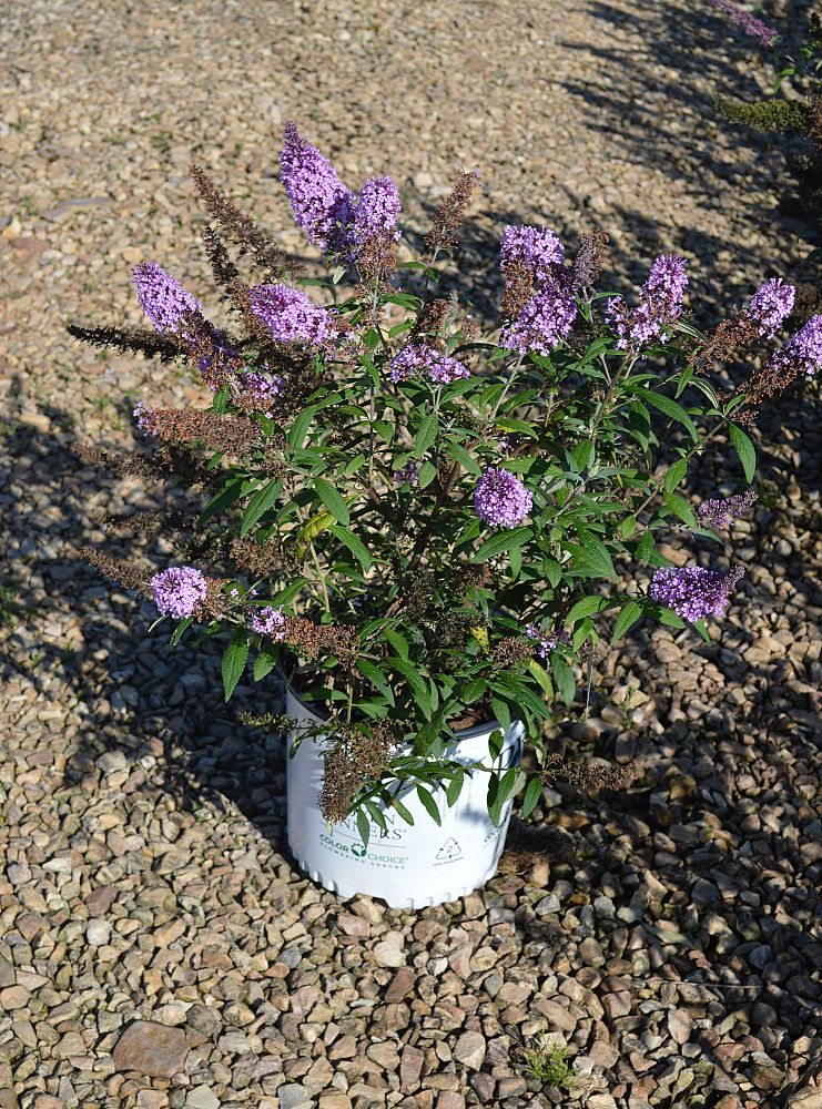 buddleia-x-blue-chip-lo-behold-reg-blue-chip-butterfly-bush