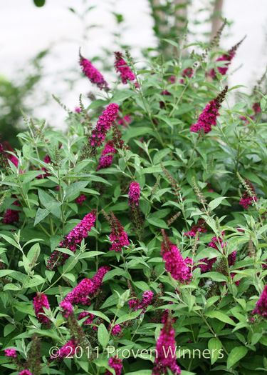 buddleia-x-miss-molly-miss-molly-butterfly-bush