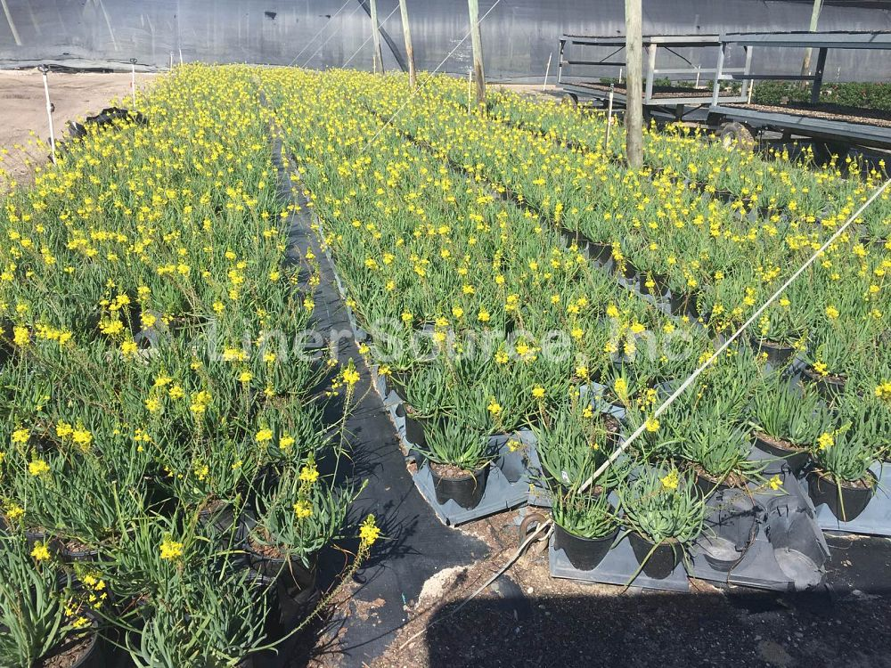 bulbine-frutescens-bulbine-fruticosa-desert-candles