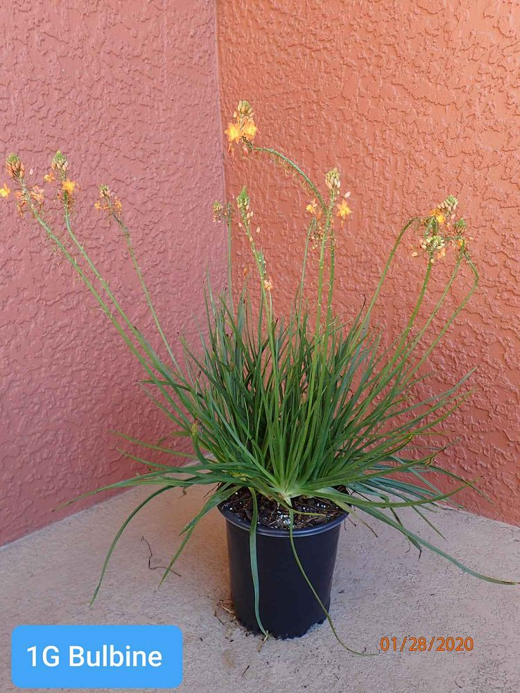 bulbine-frutescens-hallmark-bulbine-fruticosa-desert-candles