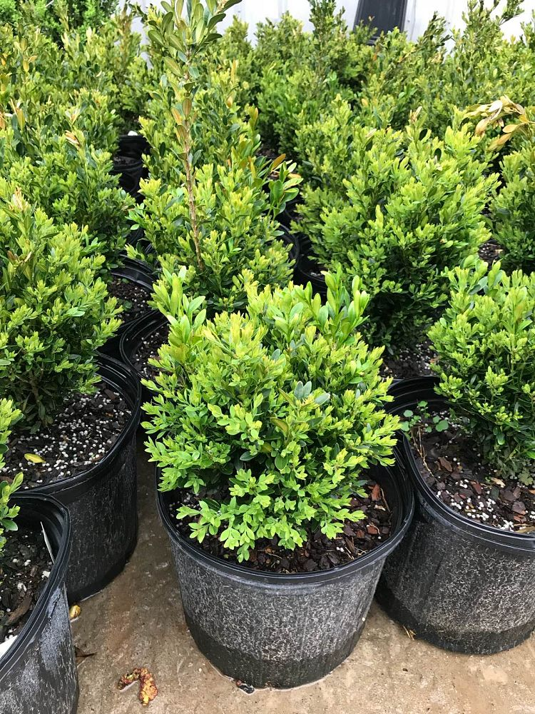 buxus-green-gem-boxwood
