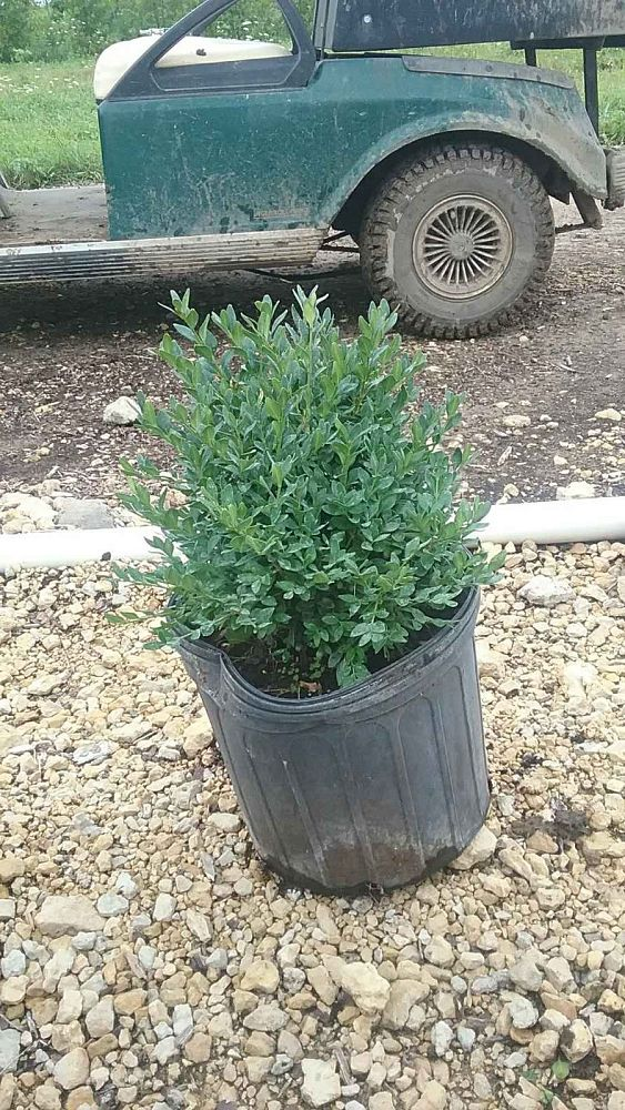 buxus-green-mound-boxwood