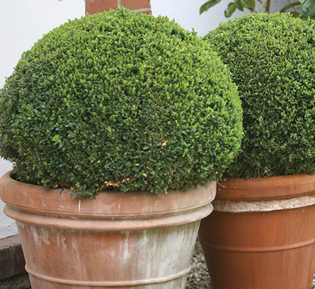 buxus-microphylla-bulthouse-japanese-boxwood-sprinter-littleleaf-boxwood