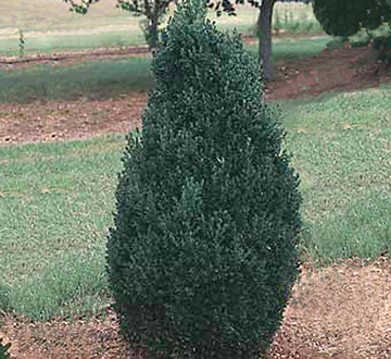 buxus-microphylla-green-mountain-japanese-boxwood-littleleaf-boxwood
