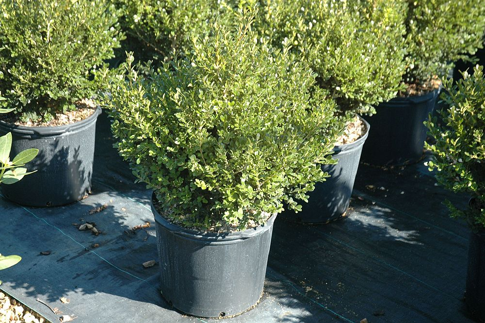 buxus-microphylla-japonica-green-beauty-littleleaf-boxwood