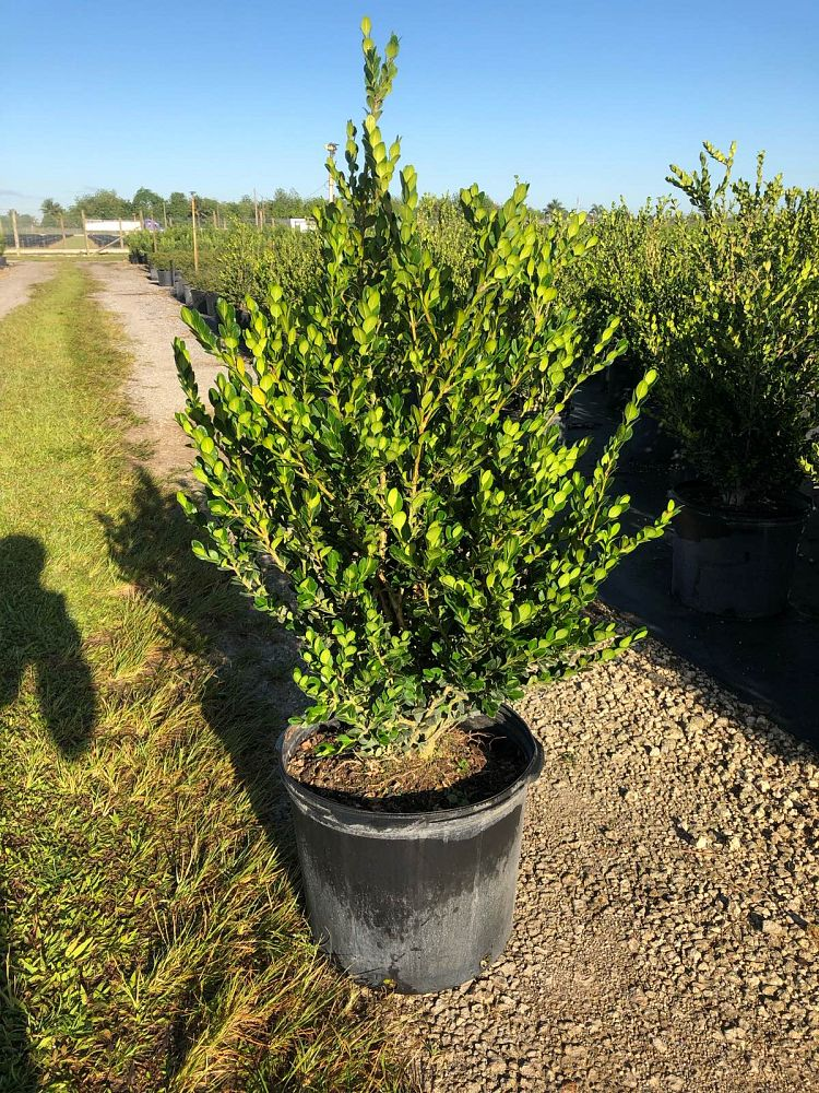 buxus-microphylla-japonica-japanese-boxwood