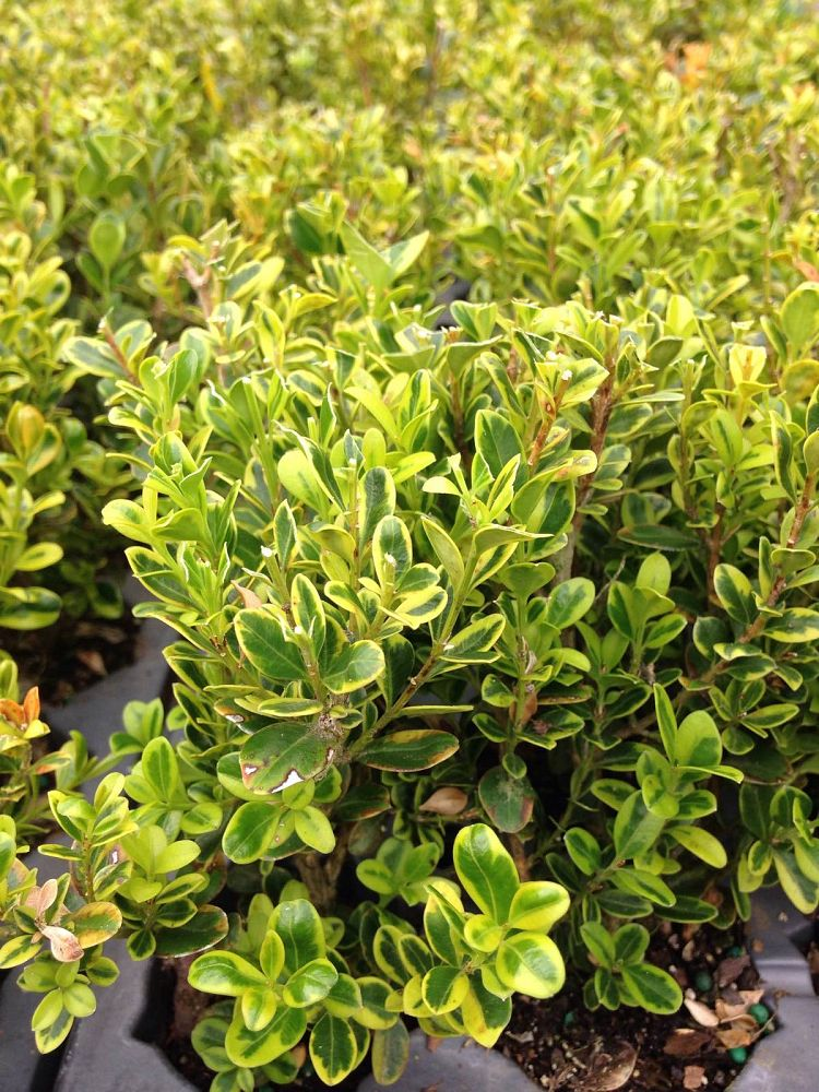 buxus-microphylla-peergold-littleleaf-boxwood-golden-dream