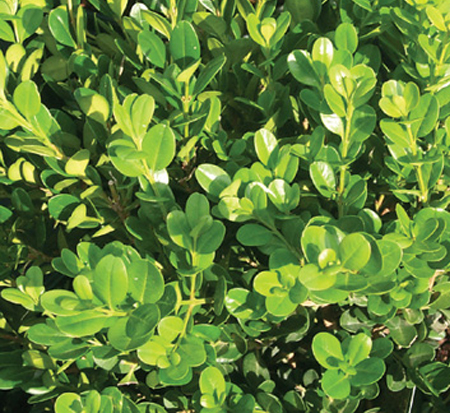 buxus-microphylla-winter-gem-littleleaf-boxwood