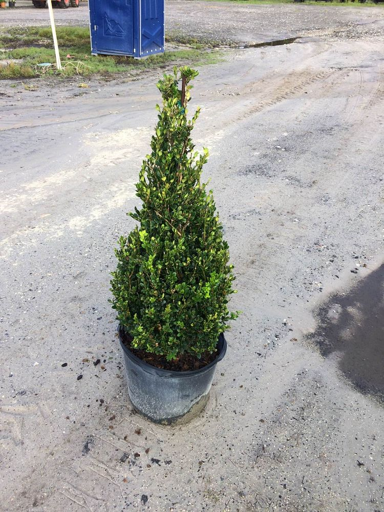 buxus-microphylla-winter-gem-topiary-cone-littleleaf-boxwood