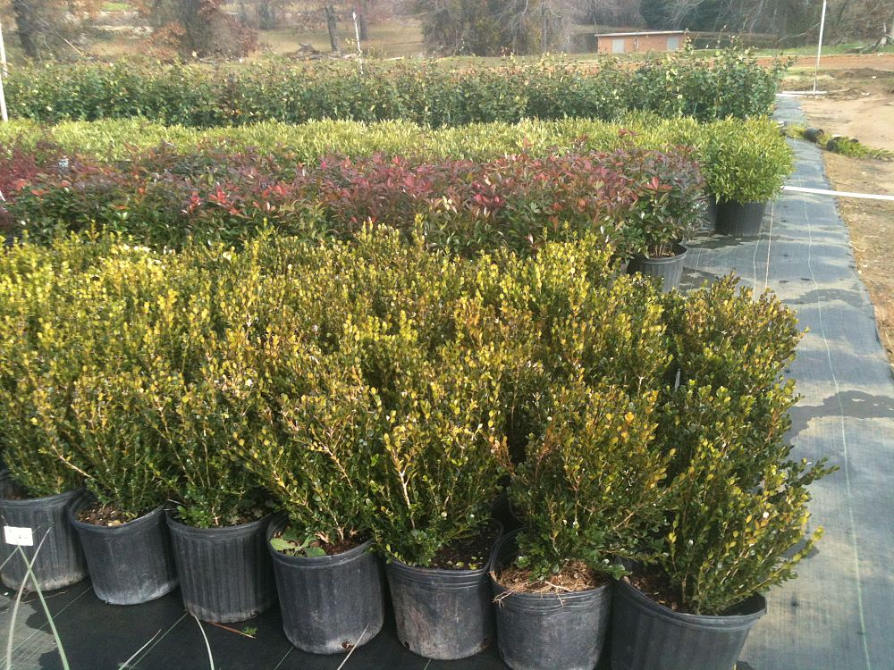 buxus-microphylla-wintergreen-littleleaf-boxwood