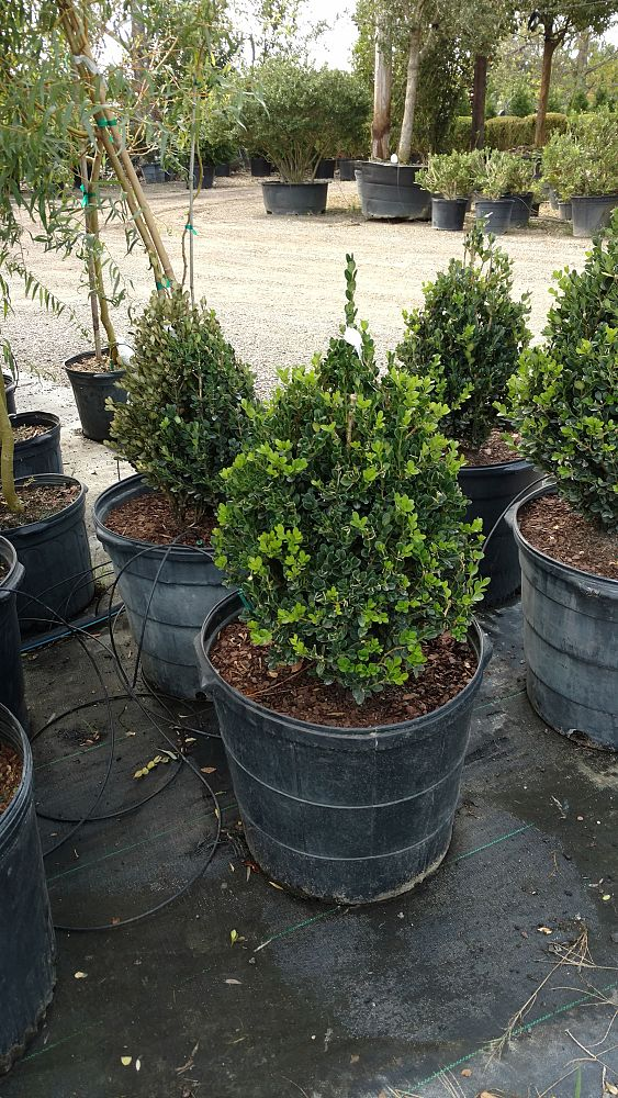 buxus-microphylla-wintergreen-topiary-cone-littleleaf-boxwood
