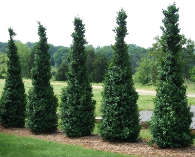 buxus-sempervirens-dee-runk-common-boxwood-american-boxwood