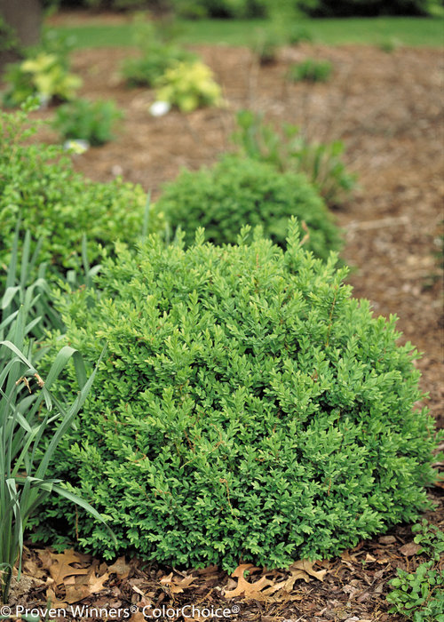 buxus-sempervirens-katerberg-north-star-reg-boxwood