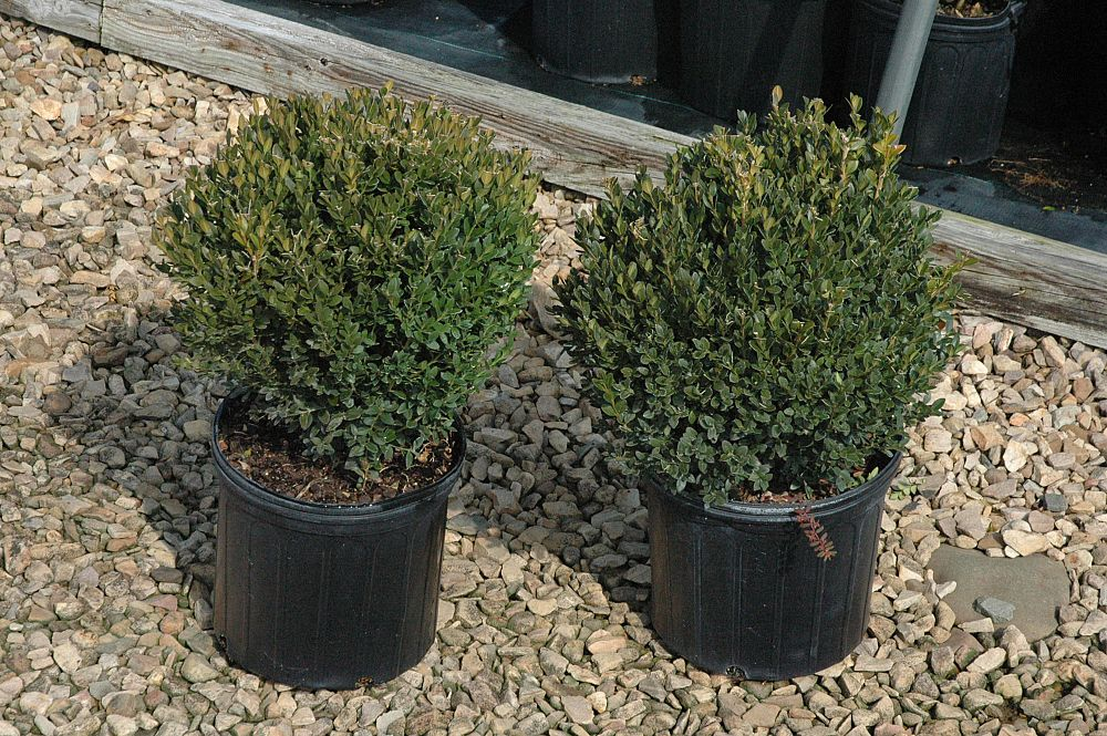 buxus-sempervirens-suffruticosa-common-boxwood-dwarf-dwarf-english-boxwood