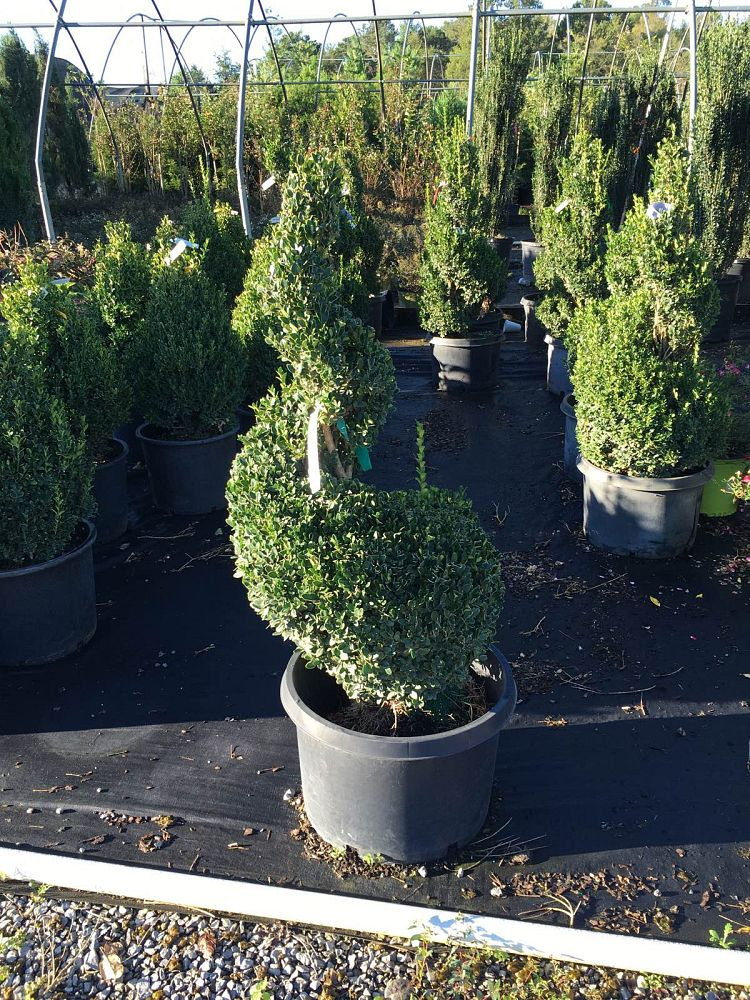 buxus-sempervirens-topiary-spiral-common-boxwood-american-boxwood