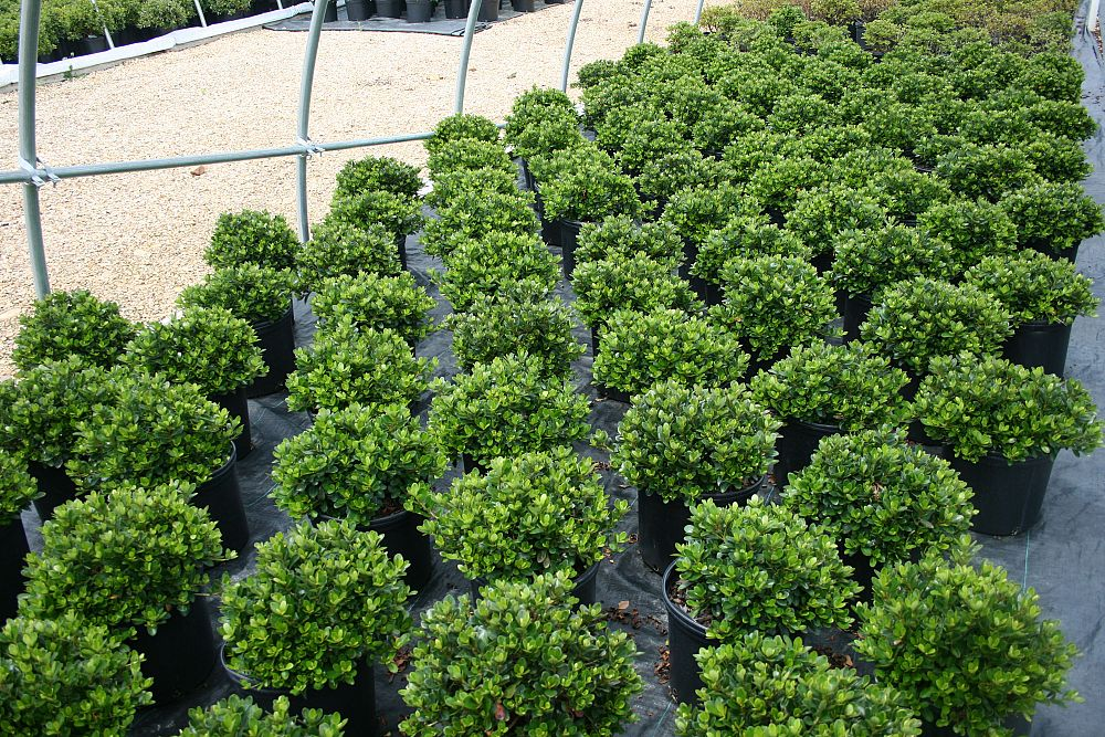 buxus-sempervirens-vardar-valley-common-boxwood-american-boxwood