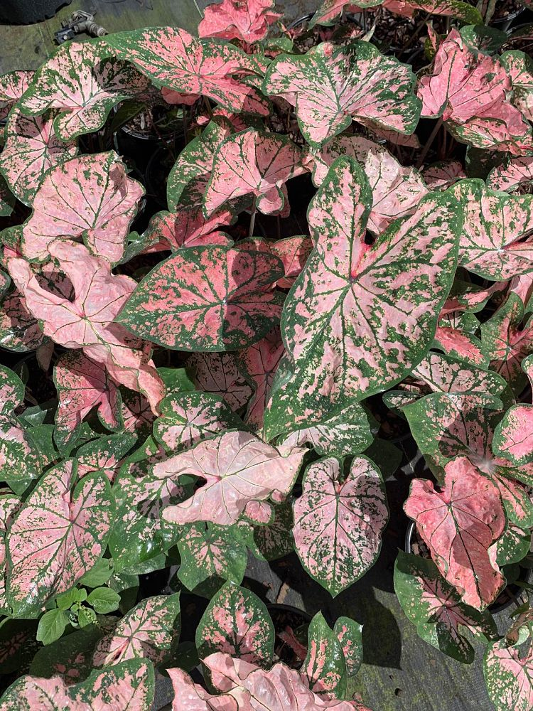 caladium-pink-splash