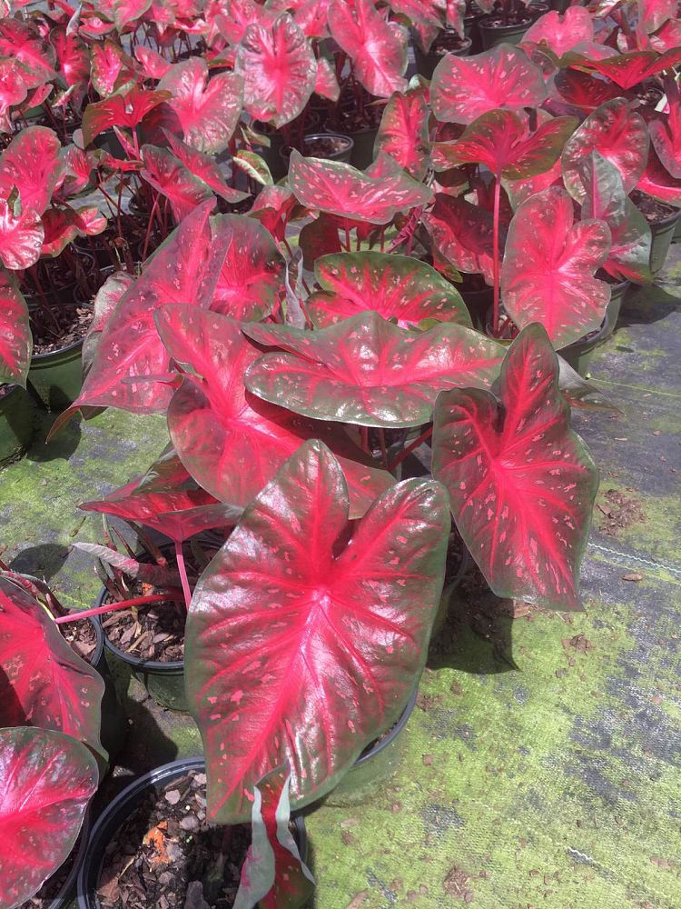 caladium-red-flash