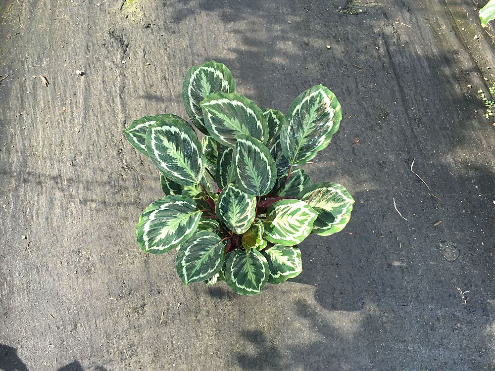 calathea-roseopicta-medallion-rose-painted-calathea