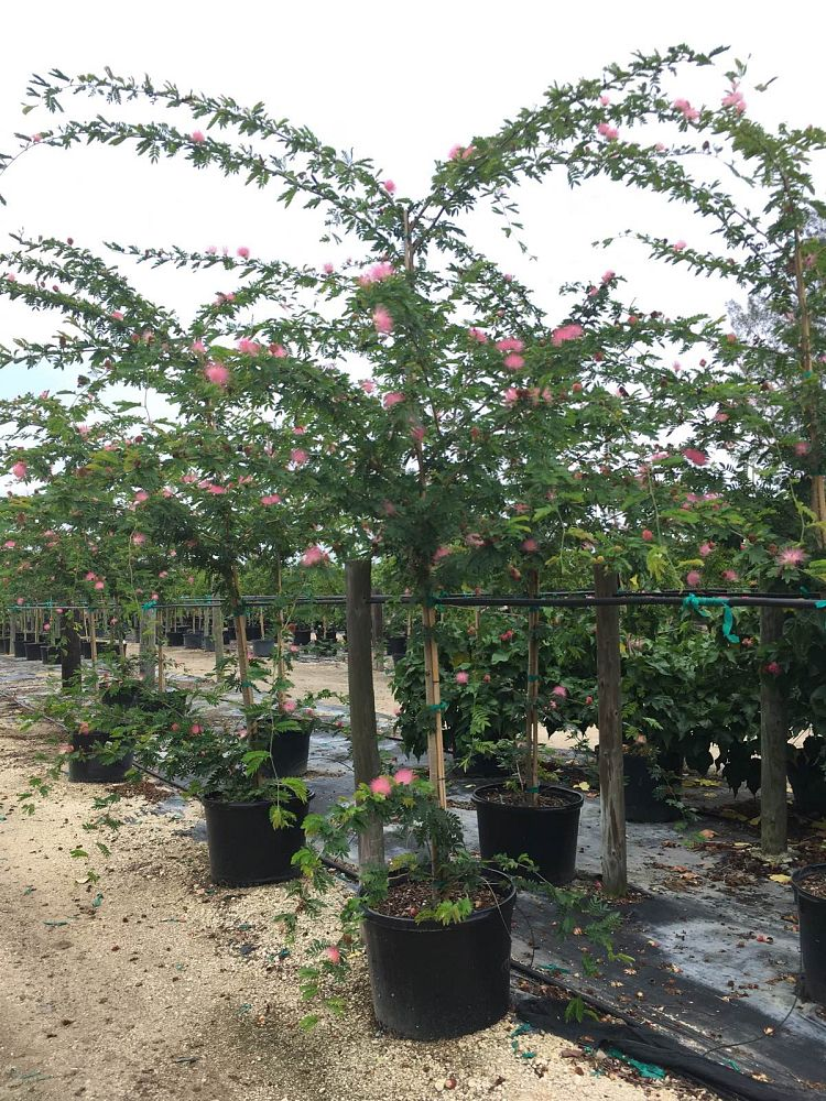 calliandra-surinamensis-pink-powderpuff