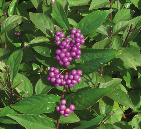 callicarpa-dichotoma-early-amethyst-purple-beautyberry