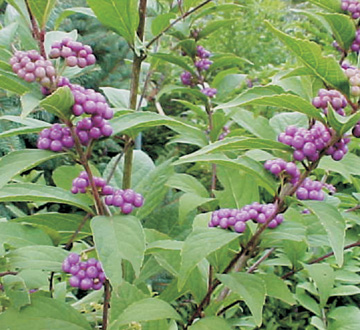 callicarpa-dichotoma-purple-beautyberry
