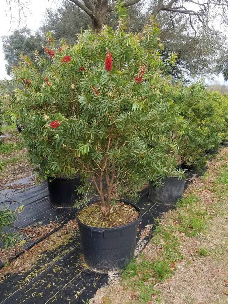 callistemon-bottlebrush