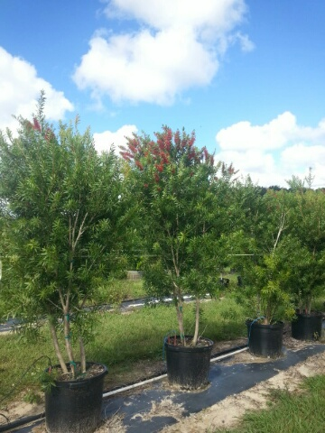 callistemon-red-cluster-bottlebrush