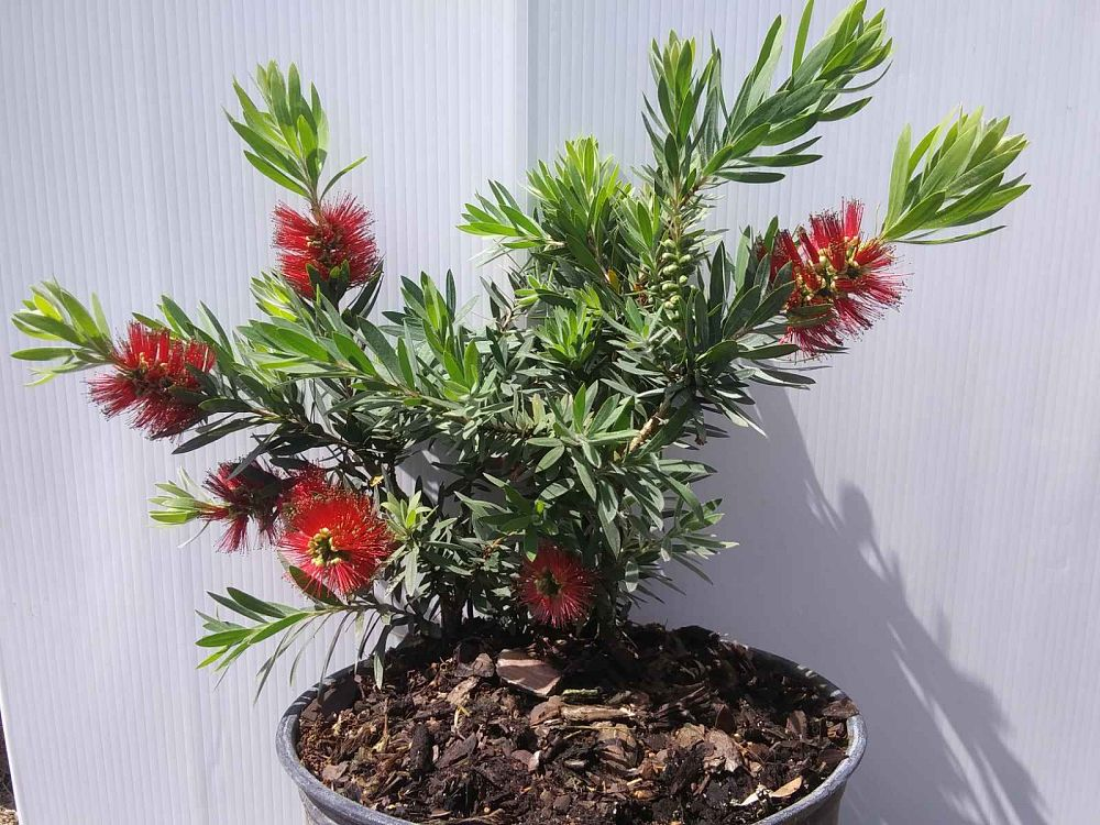 callistemon-viminalis-little-john-weeping-bottlebrush-dwarf